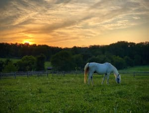 Welsh/Arabian Cross horse named Jellybean in a field at sunset