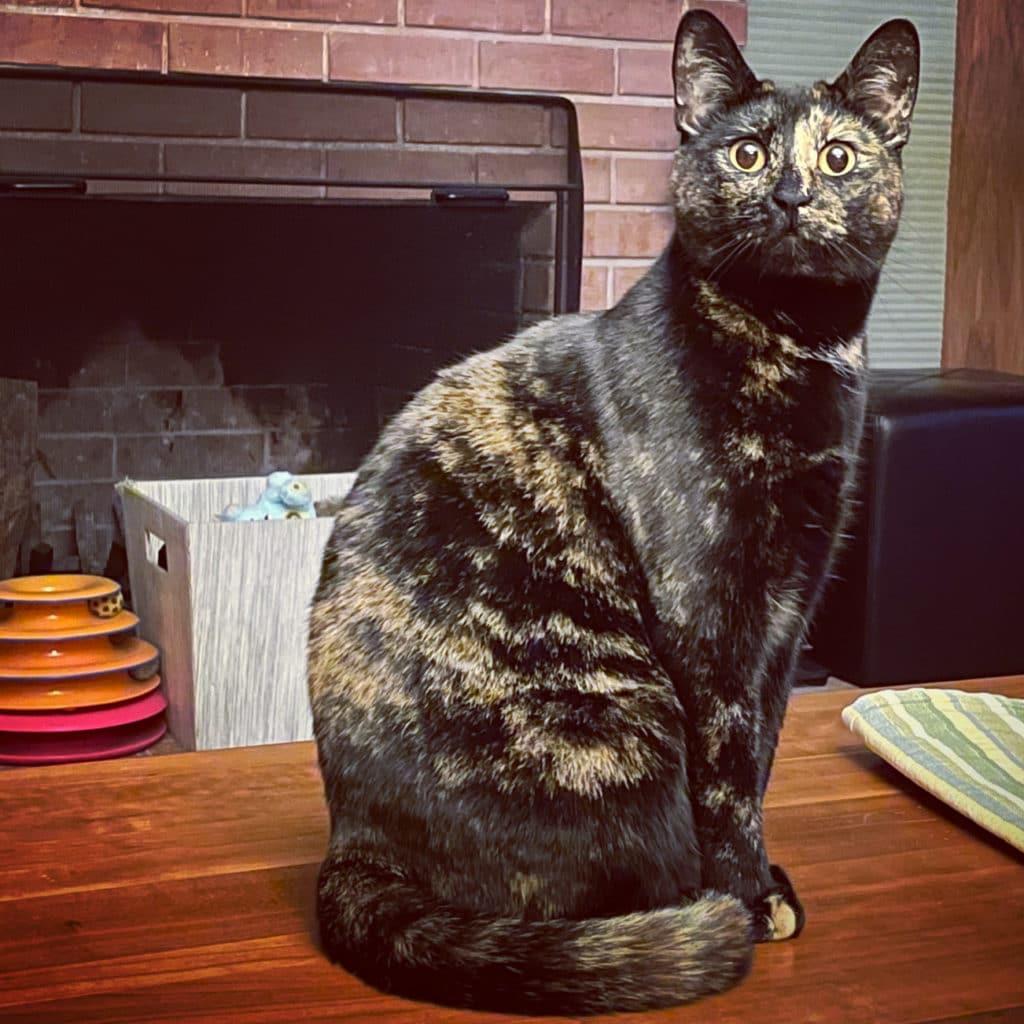 Tortoiseshell cat named Althea