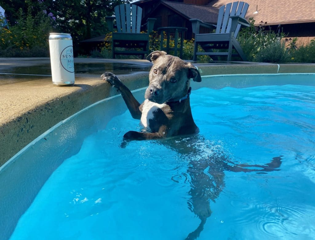 Pitbull mix named Hank swimming in a pool