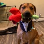 Brown dog dressed in a tuxedo holding a plush rose in his mouth looking dapper.
